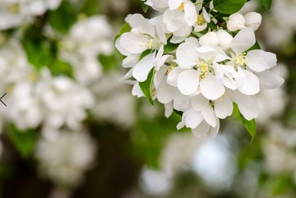 唐代诗人丘为笔下的梨花素洁淡雅、靓艳含香。